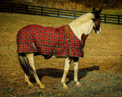 quarter horse with blanket