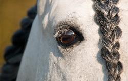 preparing horse for show