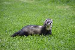 wild ferret