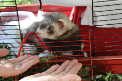 ferret as pet