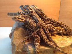 Sunbathing bearded dragons