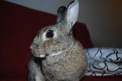 indoor pet rabbit
