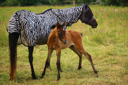 Thoroughbred with foal