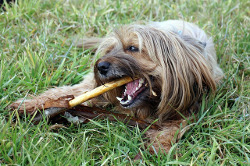 chewing dog