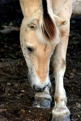 horse disturbed by flies