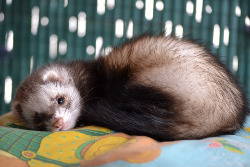 all ferret owners know two main things about their ferret pets they are incredibly playful and they spend a huge amount of time sleeping