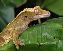 Fruit-eating crested gecko