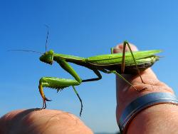 How to feed praying mantis