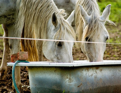 water drinking horses